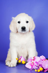 golden retriever puppy on violet background