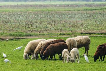 Gregge di pecore e agnellini al pascolo con garzette