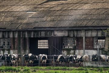 Stalla con fila di mucche pezzate allineate all'esterno