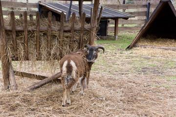 Ziegenbock auf dem Bauernhof
