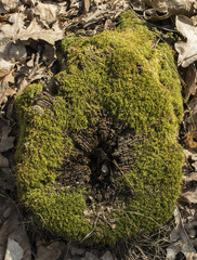 Old mossy tree stump