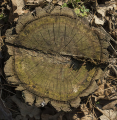 Old mossy tree stump