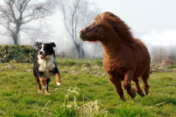 Pony läuft mit Hund