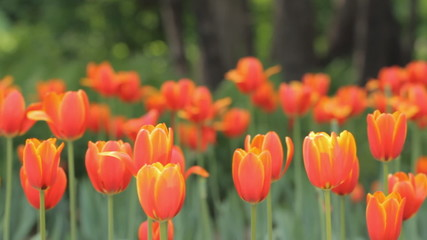 Tulips in the park. Tripod panning