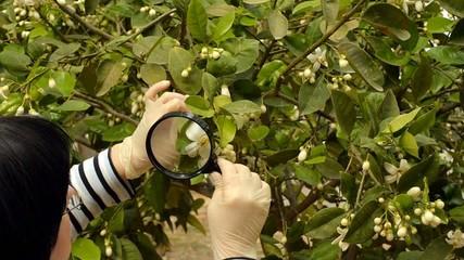 Botanist checking lemon tree flowers