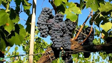 Grappoli di Ciliegiolo - Row of black grapes