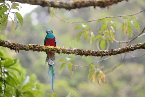 Leinwanddruck Bild Male of resplendent quetzal