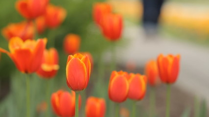 Botanical garden tulip flower bed and people background it