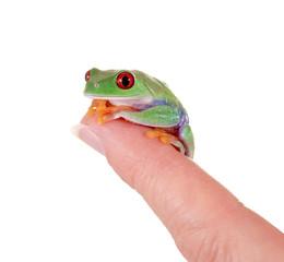 Rotaugenlaubfrosch sitzt auf Finger