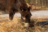 The donkey on a farmstead eats a grass