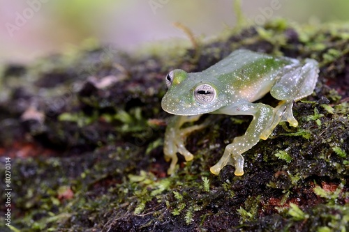 Foto op Canvas Kikker Powdered glass frog