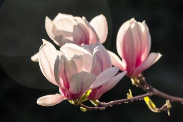 magnolia flowers on a dark  background