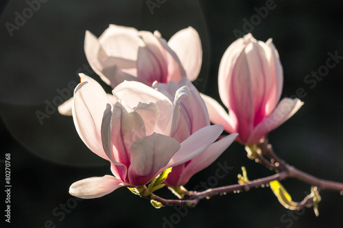 Poster Magnolia magnolia flowers on a dark background