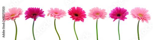 Foto op Plexiglas Gerbera Pink gerber flowers isolated.