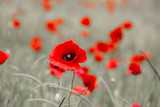 Fototapety Wild red poppy