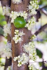 Jaboticabeira em flor