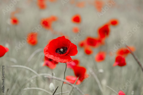 Foto op Canvas Poppy Wild red poppy