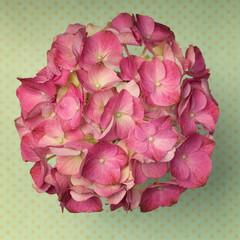 A light pink hydrangea flower on a green poka dot background