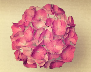 A light pink hydrangea flower on a old background