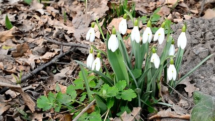 Several blooming snowdrop flowers blown by wind