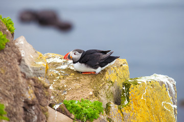 Puffin on Iceland Latrabjard cliff