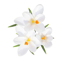 Spring blooming fragile crocus white flowers isolated