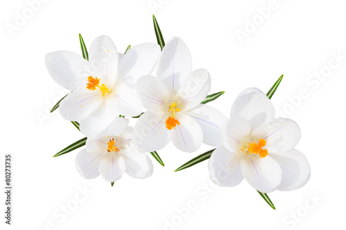 Tuinposter Iris White spring crocus flowers isolated top view