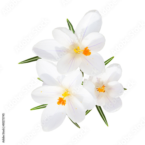 Foto op Canvas Iris Spring blooming fragile crocus white flowers isolated