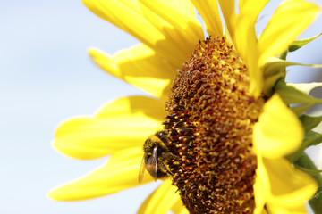 Bee on a sunflower closeup