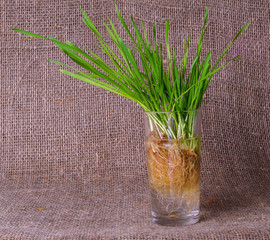 green shoots sprouted oats in a glass