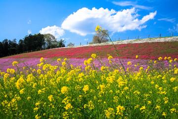 菜の花と芝桜