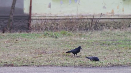 Three crows on the ground