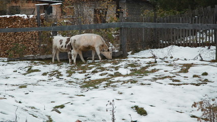 Cows in the village in winter