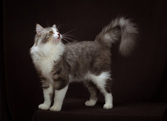 purebred Siberian cat on dark brown background