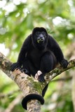 Male of howler monkey