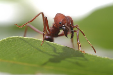Large ants on green leaf.