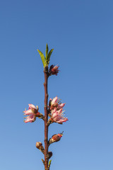 Spring - New growth and flowers on Peach tree