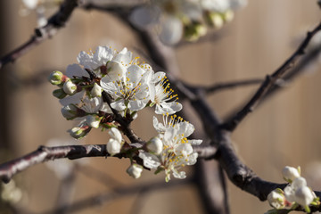 Spring - New growth and flowers on a Mexican Plum tree