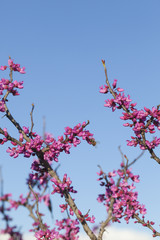 Spring - New growth and flowers on a Redbud tree