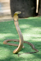 King Cobra snake is the world's longest venomous snake