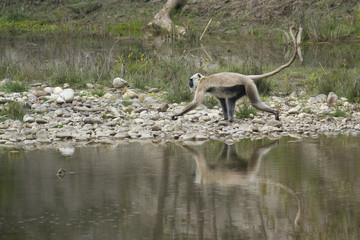 Hanuman Langur crossing river in Bardia, Nepal
