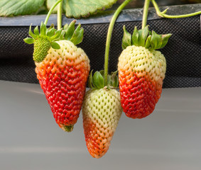 Strawberry to be riped in the plantation