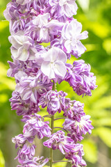a double wisteria -  macro photography -
