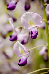 a wisteria - macro photography -