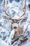 Arizona Mule Deer