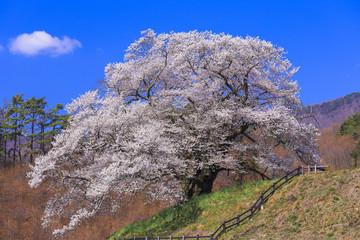 発知の苗代桜