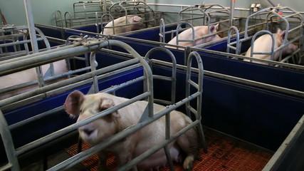 Breeding sows