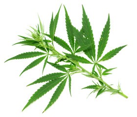 Green leaf of marijuana