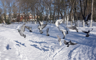 pigeons on wing winter in city park