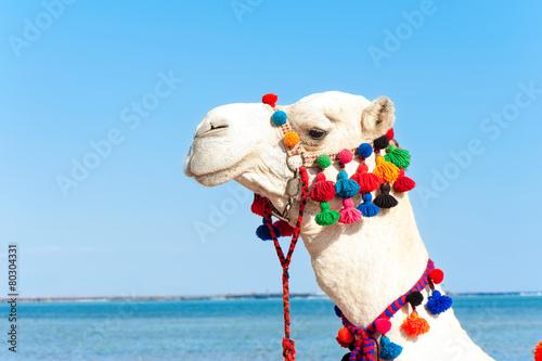 Tuinposter Kameel Portrait of proud white camel head . Camelus dromedarius.